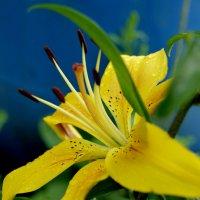 Люблю жёлтые цветы :: Galina Belugina