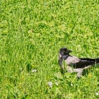 Летняя ворона :: Aнна Зарубина