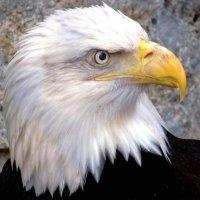 Портрет белоголового орлана. :: Вадим Синюхин
