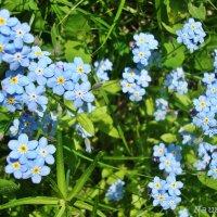 Нежность голубого :: Лидия (naum.lidiya)