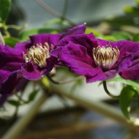 Амарантовый глубоко-пурпурный клематис :: Galina Belugina