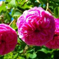 Чайная роза - роза любви... ) :: Любовь К.