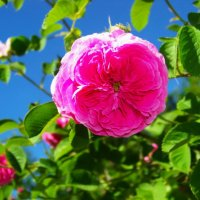 Чайная роза. :: Любовь К.