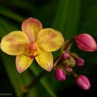 орхидея :: Адель