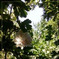 creamy tea rose :: maxim