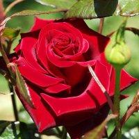 Королева цветов... Цветок любви :: Swetlana V