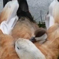Хорошо, тепло у мамы под крылом! :: Galina194701
