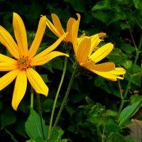Цветы топинамбура. :: Александр Атаулин