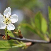Цветок вишни :: Avada Kedavra!
