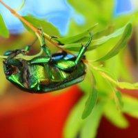 Бронзовка - жук изумрудный, очень приятный для взгляда. :: Валентина ツ ღ✿ღ