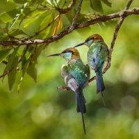 Птички со Шри-Ланки :: Ольга Петруша