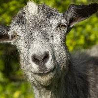 коза :: алексей турта