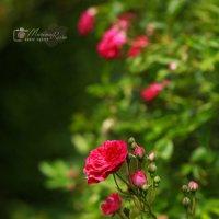 Rose :: Marina Reim