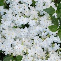 Белые цветы :: Дина Мазаник