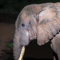 Слон на водопое ночью. Абердаре, Кения :: Ольга Петруша