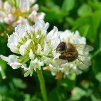 пчела :: Алина
