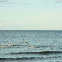 Вечерний рацион лебедей в Юрмале :: Михаил Новиков