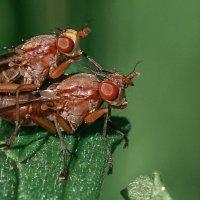 Скатофага фурката (хищная муха,12 мм). :: Галина Кучерина
