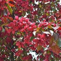 Яблоня в цвету :: Елена Павлова (Смолова)