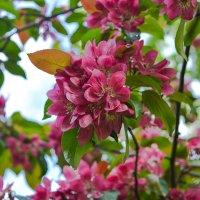 Яблоня в цвету :: Татьяна Бронзова