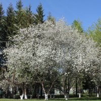 Старые яблони :: Наталья Золотых-Сибирская