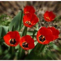 Tulips are red. (Тюльпаны красные). :: Anatol Livtsov