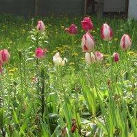 Тюльпаны. :: Валюша Черкасова