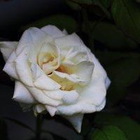 Белая роза :: Юрий Гайворонский