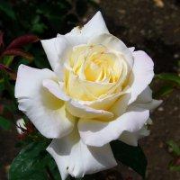 Белая роза... :: Любовь К.