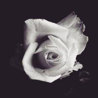 Я розу дивную увидел на рассвете... :: Ольга Голубева