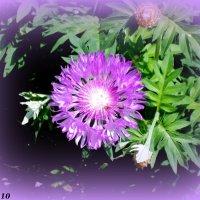 Многолетний садовый василёк :: Нина Бутко