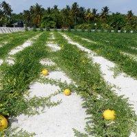 Бахча на Мальдивах. :: Татьяна Калинкина
