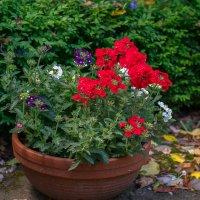 Цветы в моем саду :: Zinaida Belaniuk