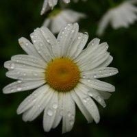 ромашка в капельках дождя :: Любовь Потравных
