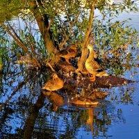 Утиное семейство на закате... :: Sergey Gordoff