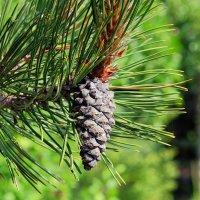 Pinus heldreichii Сосна Гельдрейха :: Swetlana V
