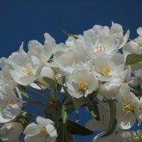 Цветут яблони :: Александр Смирнов