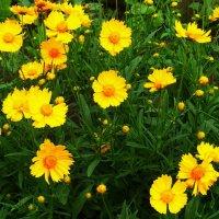Солнечные цветочки...) :: Любовь К.