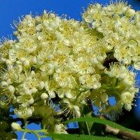 Цветёт рябина пышным цветом... :: Светлана