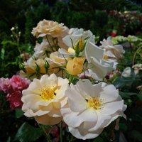 Время цветения роз!... :: Galina Dzubina