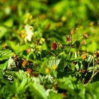 Strawberry fields forever :: Александр Крупский