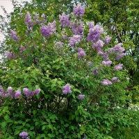 Сиреневый куст,возле дома моего... :: Sergey Gordoff