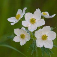 Белые цветы лета_2 :: Анатолий Иргл