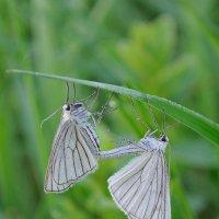 Бабочки :: Сергей Цегельник