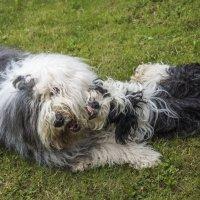 собаки-кусаки :: Лариса Батурова