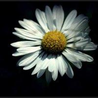 Цветок в ночи :: Swetlana V