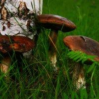грибочки - старички :: Любовь Потравных