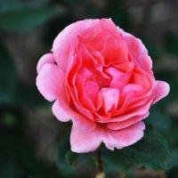 Прекрасная роза :: Алина Дериведмидь