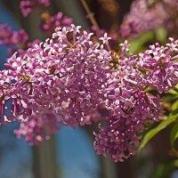 Сирень цветёт :: Анатолий Иргл