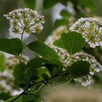 Пора цветения :: НИКОЛАЙ САРЖАНОВ